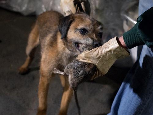Un chien est il efficace contre des rongeurs sos rongeurs for Repulsif chien exterieur efficace