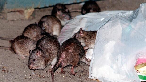 comment se dbarrasser de rats dans une maison elegant se dbarrasser des rongeurs sans les tuer. Black Bedroom Furniture Sets. Home Design Ideas