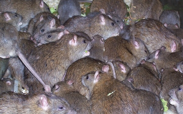Tuer Les Souris Dans Les Maisons vitesse de multiplication et prolifération des souris et des rats