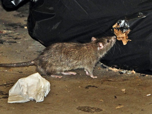 photos de rats identification et d g ts. Black Bedroom Furniture Sets. Home Design Ideas