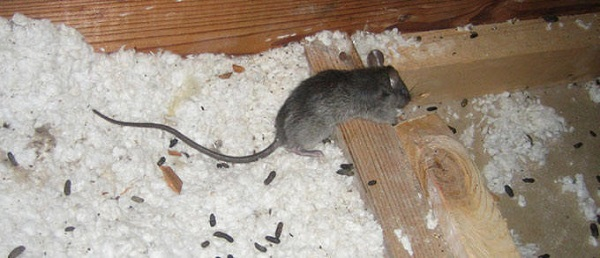 Photos De Rats Identification Et D 233 G 226 Ts